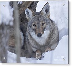 Eastern Coyote In Winter Acrylic Print by Deborah  Smith