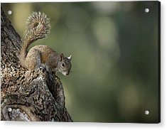 Eastern Gray Squirrel, Or Grey Squirrel Acrylic Print by Pete Oxford