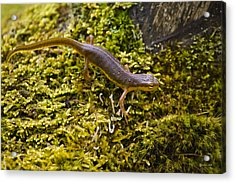 Eastern Newt Aquatic Adult Acrylic Print by Christina Rollo