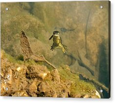 Eastern Newt In A Shallow Pool Of Water Acrylic Print by Chris Flees