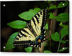 Eastern Tiger Swallowtail Acrylic Print by Bianca Nadeau