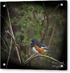 Eastern Towhee In Oil Acrylic Print by Cris Hayes