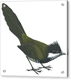 Eastern Whipbird Acrylic Print by Anonymous