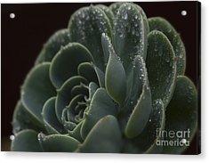 Echeveria Elegans X Lola - Crassulaceae Acrylic Print by Sharon Mau