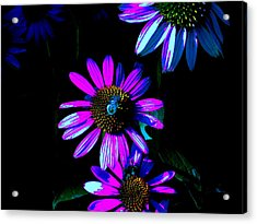 Echinacea Hot Blue Acrylic Print by Karla Ricker