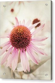 Echinacea Acrylic Print by Priska Wettstein
