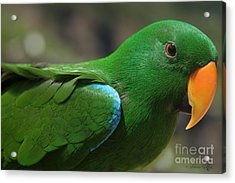 Eclectus Roratus Acrylic Print by Sharon Mau
