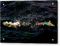 Electric Bonito Acrylic Print by Ken  Collette