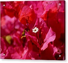 Electric Pink Bougainvillea Acrylic Print by Rona Black