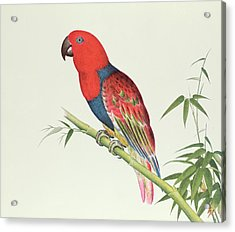 Electus Parrot On A Bamboo Shoot Acrylic Print by Chinese School