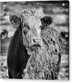 Elegant Cow Acrylic Print by John Farnan