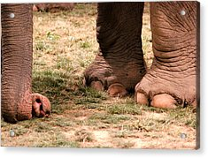 Elephant Acrylic Print by Amanda Just