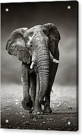 Elephant Approach From The Front Acrylic Print by Johan Swanepoel