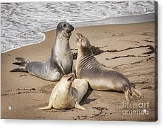 Elephant Seals Acrylic Print by Colin and Linda McKie