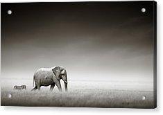 Elephant With Zebra Acrylic Print by Johan Swanepoel