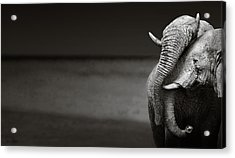 Elephants Interacting Acrylic Print by Johan Swanepoel