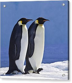 Emperor Penguin Couple Acrylic Print by Jean-Louis Klein and Marie-Luce Hubert