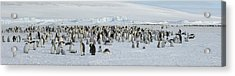 Emperor Penguins Aptenodytes Forsteri Acrylic Print by Panoramic Images