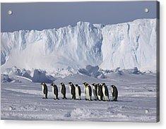 Emperor Penguins Walking Antarctica Acrylic Print by Frederique Olivier
