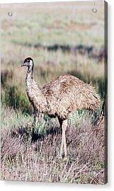 Emu (dromaius Novaehollandiae Acrylic Print by Martin Zwick