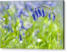 English Bluebell Acrylic Print by Jacky Parker