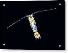 Eudiaptomus Copepode Acrylic Print by Gerd Guenther
