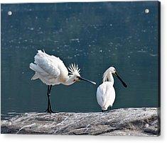 Eurasian Spoonbill Courtship Display Acrylic Print by K Jayaram