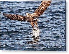 European Fishing Sea Eagle 2 Acrylic Print by Heiko Koehrer-Wagner