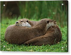 European River Otter Lutra Lutra Acrylic Print by Ingo Arndt