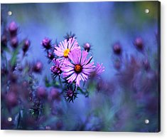 Aster Acrylic Print featuring the photograph Evening Asters by Jessica Jenney