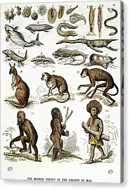 Evolution Chart Acrylic Print by Granger