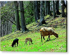 Ewe And Spring Lambs Grazing Acrylic Print by Thomas R Fletcher