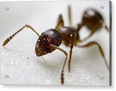 Extreme Macro Ant Acrylic Print by Mr Bennett Kent