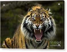 Eyes Of The Tiger Acrylic Print by Mike  Dawson