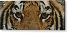 Eyes Of The Tiger Acrylic Print by Sandy Keeton