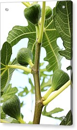 Fabulous Figs Acrylic Print by French Toast