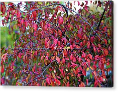 Fall Foliage Colors 05 Acrylic Print by Metro DC Photography