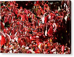 Fall Foliage Colors 08 Acrylic Print by Metro DC Photography