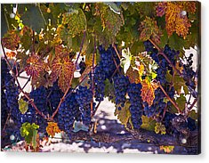 Fall Grape Harvest Acrylic Print by Garry Gay