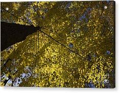 Fall Maple Acrylic Print by Steven Ralser
