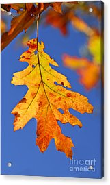 Fall Oak Leaf Acrylic Print by Elena Elisseeva