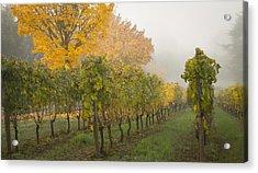 Fall Vineyard Colors Acrylic Print by Jean Noren