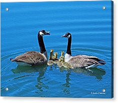 Family Canada Geese Acrylic Print by Jonathan Whichard