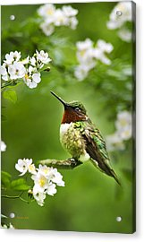 Fauna And Flora - Hummingbird With Flowers Acrylic Print by Christina Rollo
