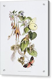Feasting And Fun Among The Fuschias Acrylic Print by Richard Doyle