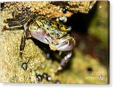 Feasting Crab Acrylic Print by Michelle Burkhardt