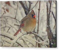 Female Cardinal In The Snow II Acrylic Print by Sandy Keeton