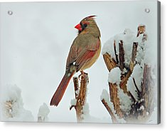 Female Cardinal In The Snow Acrylic Print by Sandy Keeton