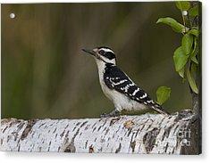 Female Hairy Woodpecker Acrylic Print by Linda Freshwaters Arndt