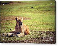 Female Lion Lying. Ngorongoro In Tanzania Acrylic Print by Michal Bednarek